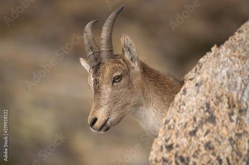 Iberian ibex, Capra pyrenaica, Iberian Ibex, Spain, on top of the rock Fototapet