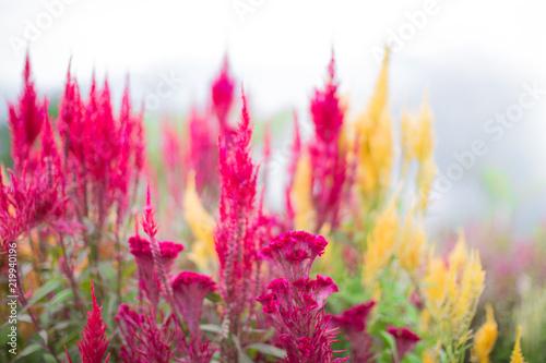Foto op Plexiglas Tulp lavender flower sirao garden Cebu City