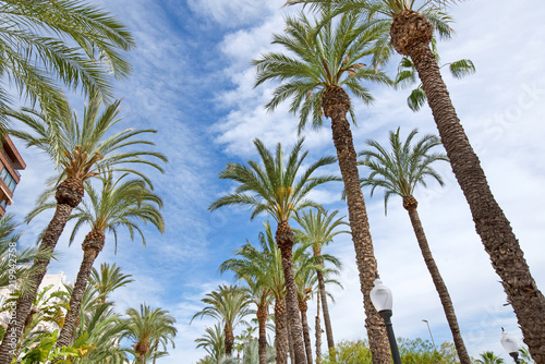 Beautiful big palm trees on blu sky. Alley of palm trees is the main tourist street Alicante, Spain, alongside the mediterranean sea. Tropical landscape with coconut palm silhouettes at the beach side