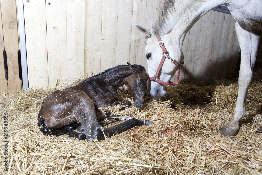 Foal birth in the horse stable