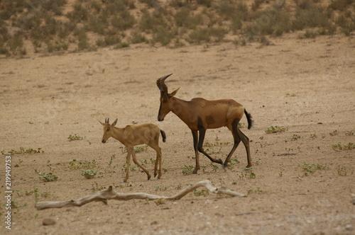 Foto op Aluminium Antilope Kuhantilope mit Kalb