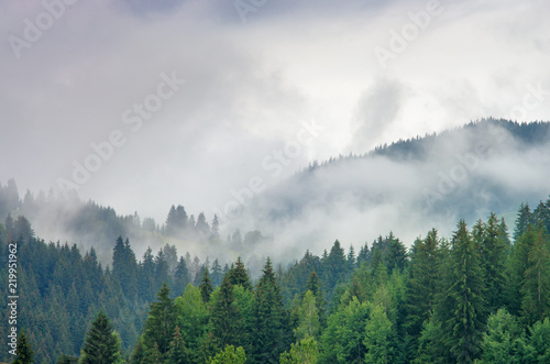 Photo Stands Hill Fog in the forest of pine trees in the mountains. Carpathians Ukraine