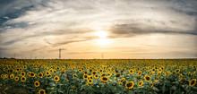 Field If Wild Sunflowers In Sunset Light