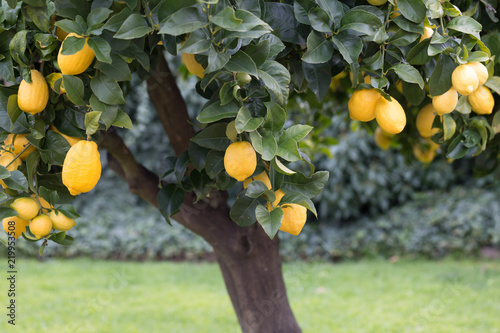 Fototapeta Lemon tree with ripe fruit