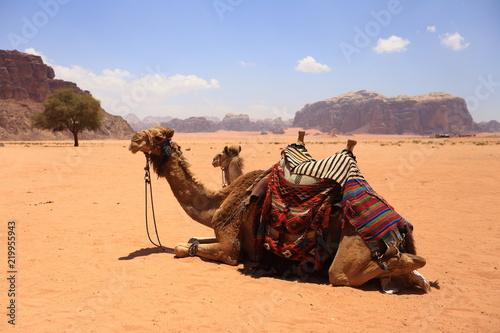 Photo  Arabian camels in desert of Wadi Rum, Jordan.