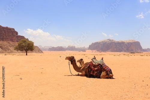 Arabian camels in desert of Wadi Rum, Jordan.
