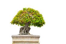 Bonsai Or Small Tree Isolated ...