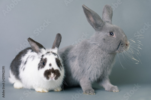 Photo  Two beautiful funny baby bunnies on a solid gray backdrop.