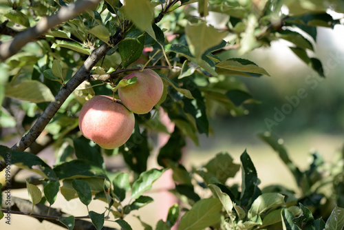 ripe-apples-on-a-branch-lit-by-the-evening-sun-in-a-summer-garden