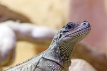 Reptile. Close-up On A Hydrosaure Of Weber (Hydrosaurus Weberi).