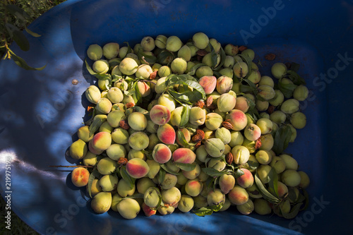 Staande foto Eten Peaches in wheelbarrow