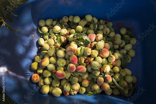 Deurstickers Eten Peaches in wheelbarrow