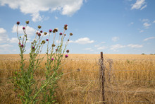 Thistle And Wheat In Field