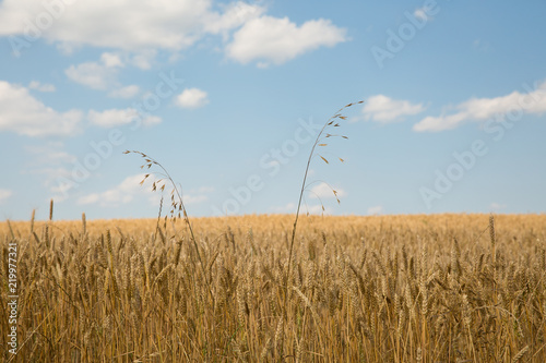 Wheat filed with sky