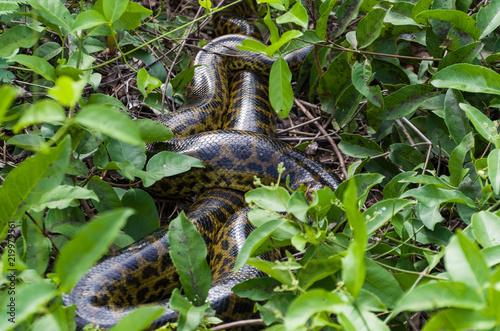 Fotografija  Sucuri in green forest in Brazilian Pantanal