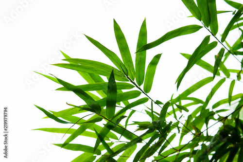 Beautiful green bamboo leaves isolated on white background in summer season. It use for artworks,  postcard, wallpaper.