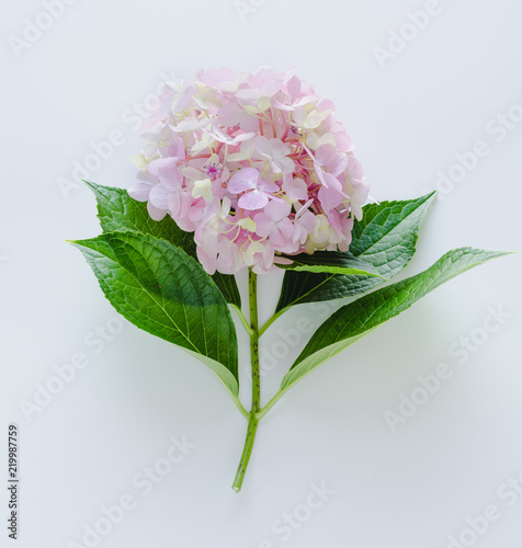 Hydrangea on white background. Space to write.