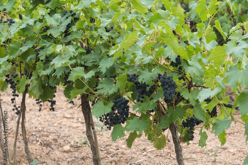 In de dag Wijngaard Bunches of grapes in a small local vineyard