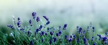 Blooming Lavender Flowers Back...