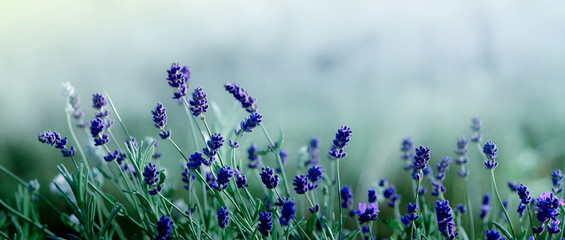 Blooming Lavender flowers background
