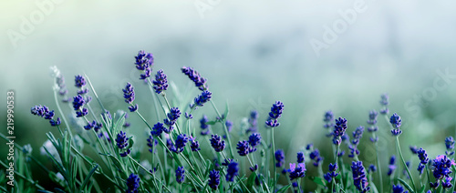 plakat Blooming Lavender flowers background