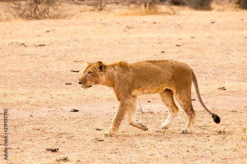 Fotobehang Leeuw A lion, lioness and cubs in their pride land in Africa
