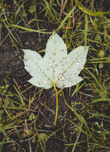 Single Leaf Isolated On The Gr...