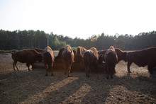 American Bison Buffalo Herd On A Sunny Day