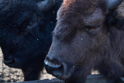 Foto op Canvas Bison amrican bison buffalo big head