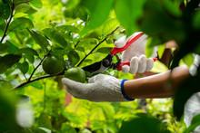 Harvesting Lime