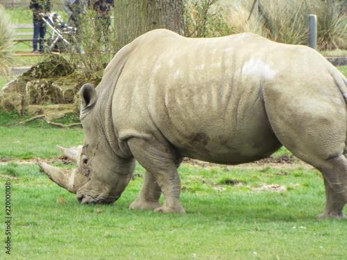 Poster Neushoorn Rhino