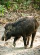 Wild boar male feeding in the jungle