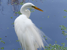 Snowy Egret Against Pure Blue ...