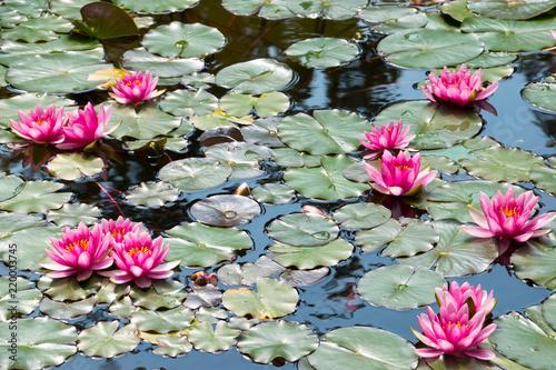 Foto op Canvas Waterlelies Lotusblüten im Teich, Seerosen