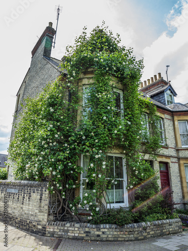 Photo  Hanging White Roses on the house, Cambridge, England, Europe