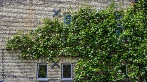 Photo  Hanging White Roses on the house, Cambridge, England, Europe