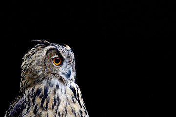 Portrait of an owl on a black background