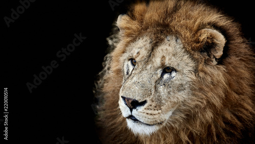Fototapety, obrazy: Portrait of a beautiful lion on a black background