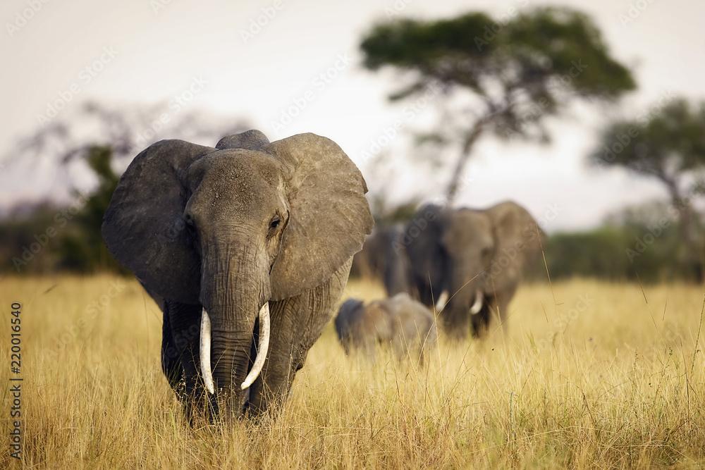 Fotografie, Obraz Herd of elephants walking through tall grass