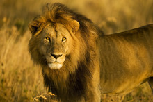 A Majestic, Wild Lion Stands I...