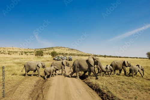 Large herd of elephants cross dirt road in Africa while people on safari watch