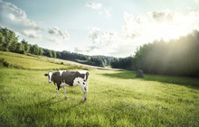 Cattle Farming - Cow Ecologica...
