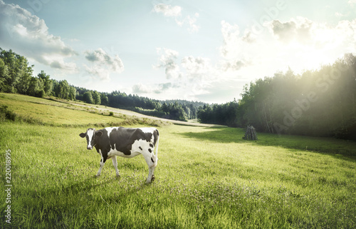 Leinwand Poster Cattle farming - cow ecological pasture on a meadow