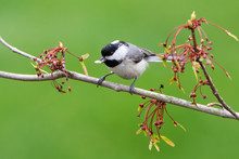 Carolina Chickadee On A Branch With Food In It's Beak