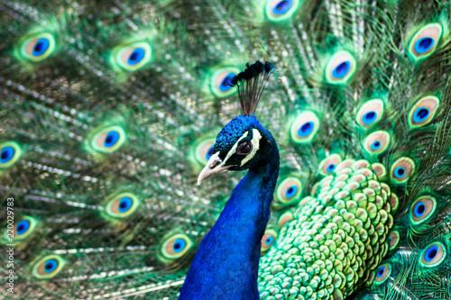Foto op Aluminium Pauw Meet the Peacock