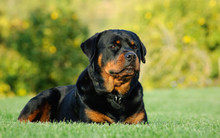 Rottweiler Dog Outdoor Portrai...