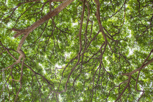 Under Shade Of Giant Tree From Bottom View Can Be Use To
