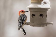 Red-Bellied Woodpecker By A Fe...