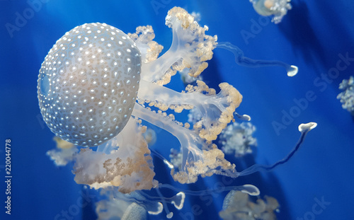 White spotted jellyfish or Floating bell or Australian spotted jellyfish