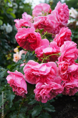 In de dag Roze Climbing roses pink cloud flowers